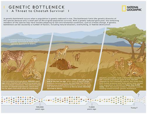 CheetahGeneticBottleneck_BELeahy.jpg