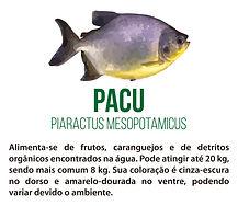 Peixe Pacu - Piaractus Mesopotamicus