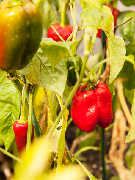 Les semences, une ressource et un patrimoine