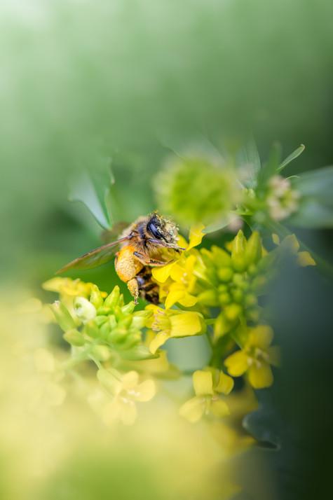 L'abeille, sentinelle écologique