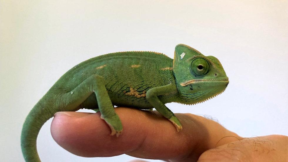 Baby Male Veiled Chameleon