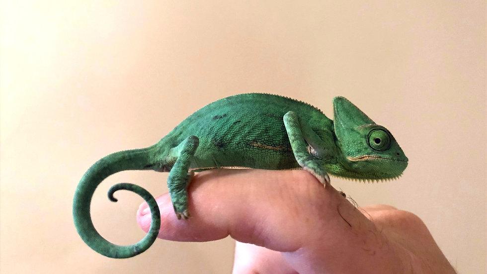 Baby Female Veiled Chameleon