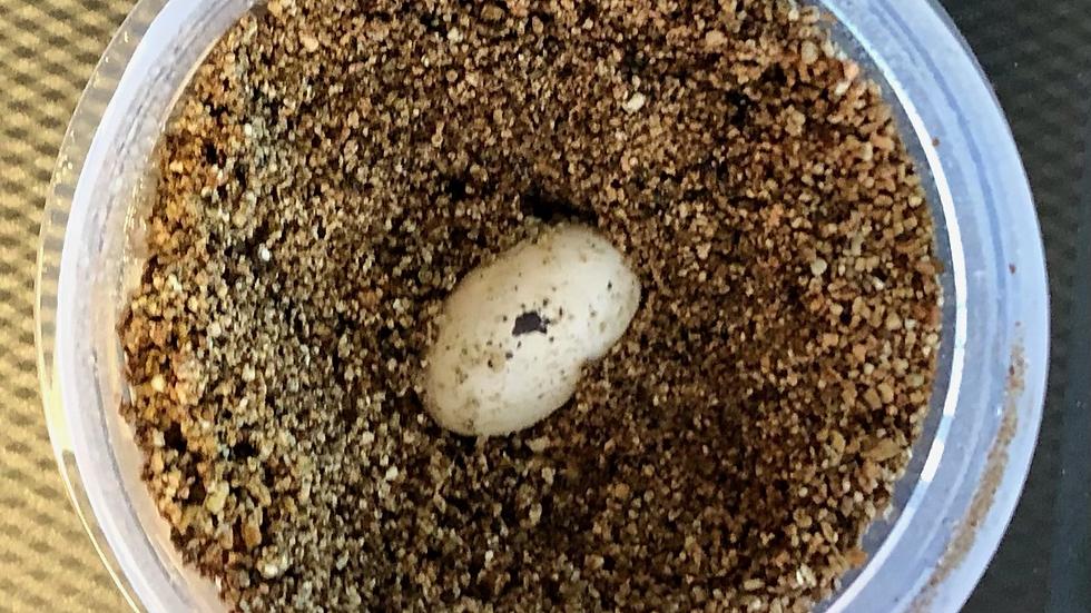 Veiled Chameleon Egg - Fertile