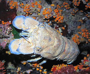 slipper-lobster-dive-malta.png