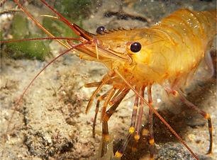 Shrimp_11_3a.jpg