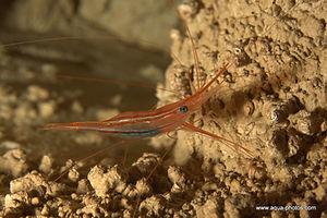 shrimp-dive.jpg