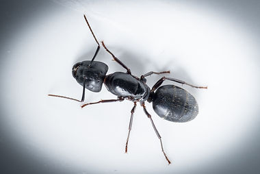 macro close up ant black.jpg