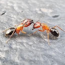 carpenter ants fighting.jpg