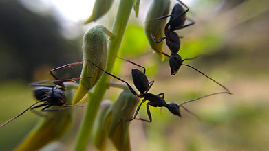 black crazy ant is a species of small da