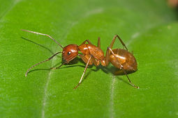 Pyramid Ant in Florida