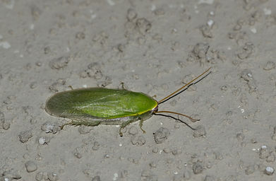 A green Cuban Cockroach