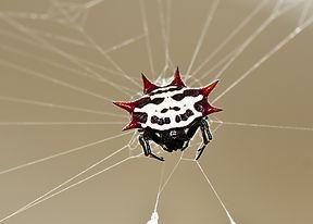 """Spiny Orb Weaver Spider nicknamed """"Crab Spider"""""""