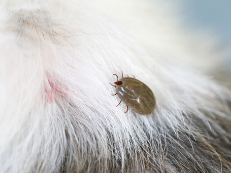 The Brown Dog Tick