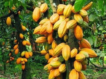 Living in a Cacao Wonderland in the Southern Zone of Costa Rica