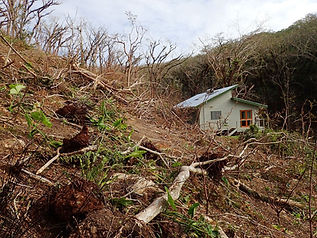 16 fallen raintrees.jpg