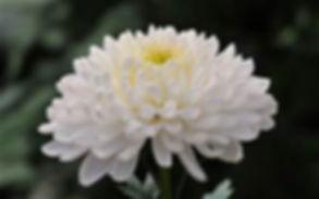 Nu Phi Chapter Flower in nuphichapter