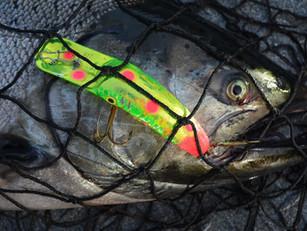 Targeting River Chinook