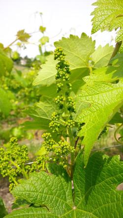 I fiori dell'uva