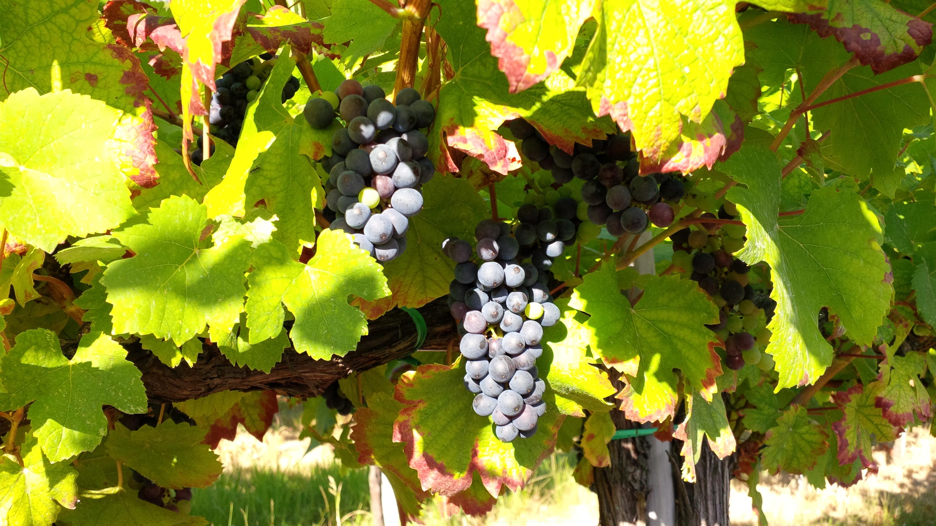 I frutti del vino
