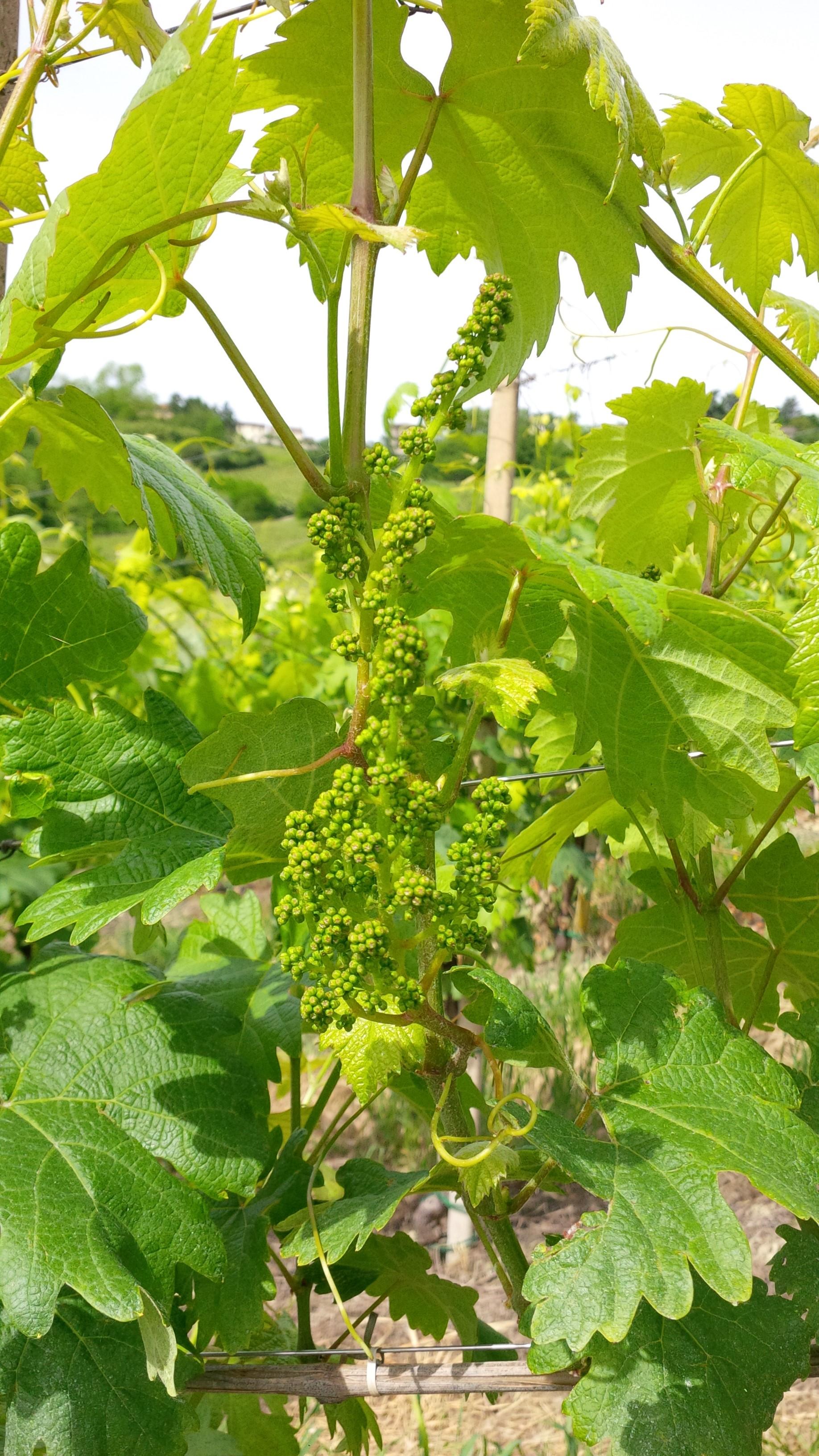 I fiori del vino