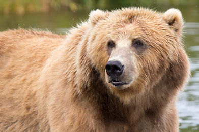 kodiak-brown-bear-1622667_1280.jpg