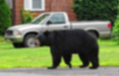 Black Bear intrusion.jpg