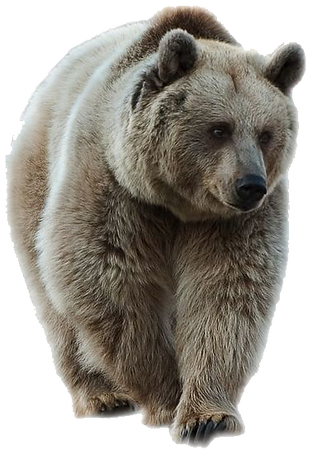 brown bear Transparent.png
