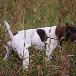 All N Kennel - Young Started GSP