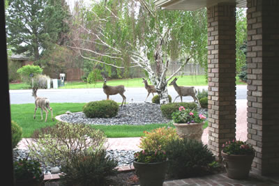 Deer_in_front_yard_Cody_08_fs