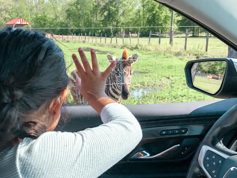 Safari Adventures from Your Car