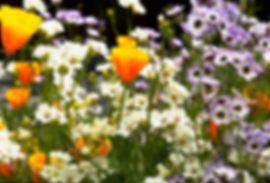 IMG0064 Gilia tricolor white blue H.jpg