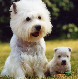 westie maman et bebe - Copie