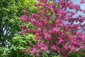zahradni-a-parkova-vysadba-jablone-husov