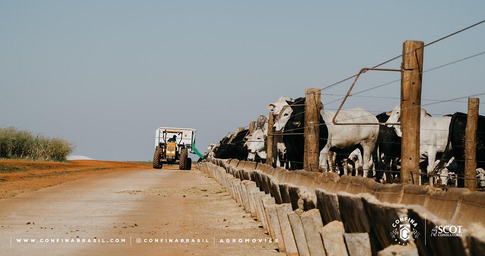 gado cocho no confina brasil