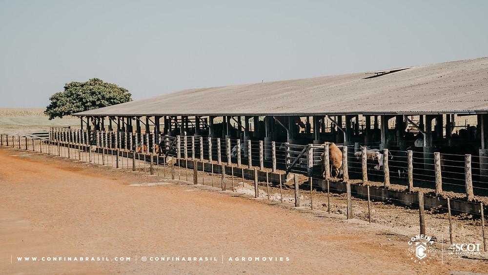 gado no cocho coberto no confina brasil