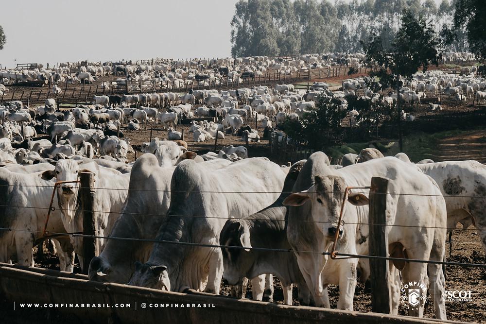 gado no cocho no confina brasil