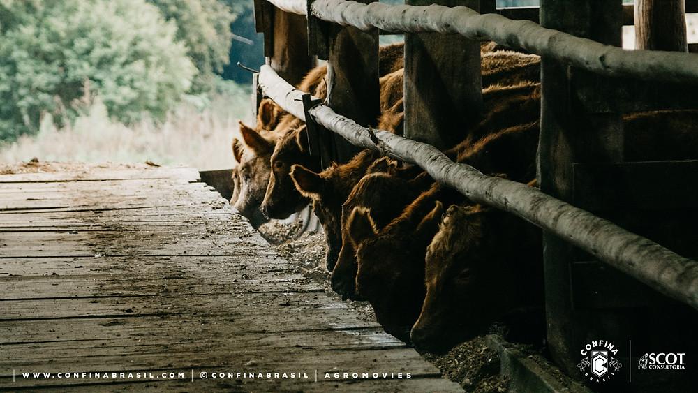 gado se alimentando no cocho