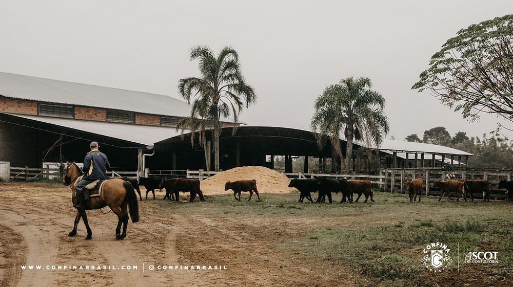pecuarista a cavalo e gado
