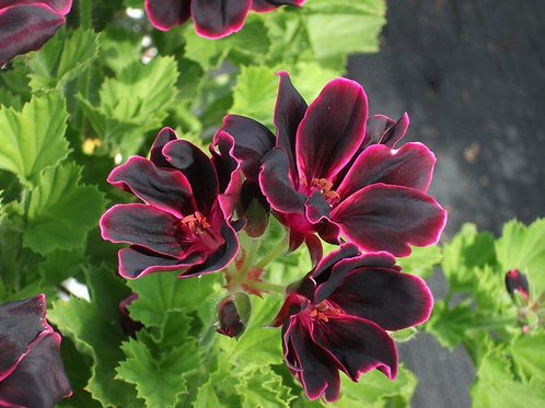 Regal Pelargonium 'Lord Bute'