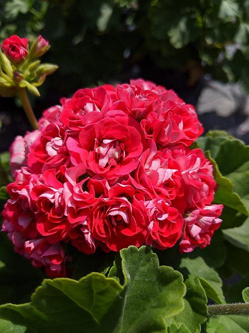 Pelargonium 'Rosebud'