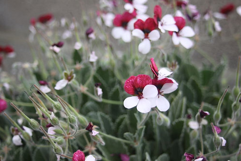 Pelargonium 'Splendide' Available to collect from nursery only