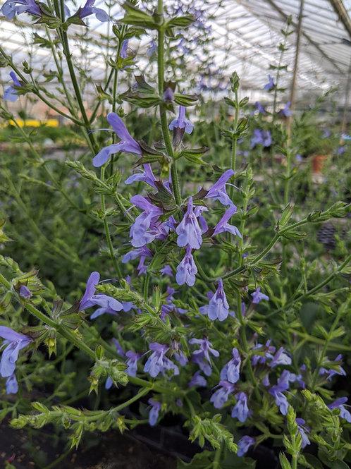 Salvia 'African blue skies'
