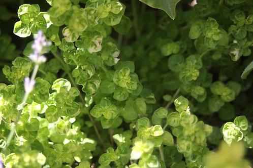 Origanum vulgare 'Aureum crispum' Gold Curly Marjoram