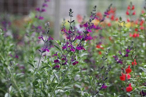Salvia 'Violette de Loire'