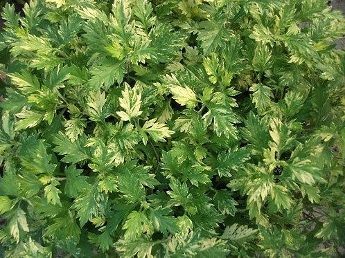 Artemisia vulgaris 'Oriental Limelight' Variegated mugwort