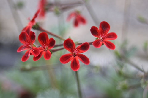 Pelargonium 'Ardens' Available to collect from nursery only