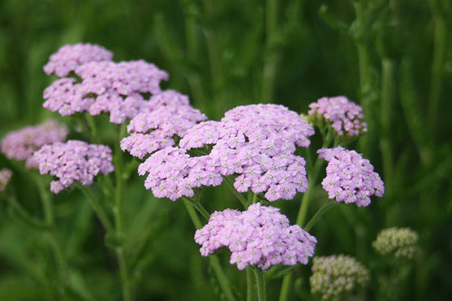 Achillea 'Lilac Beauty' Collection from nursery only