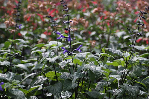 Salvia 'Black and Blue' Collection from nursery only