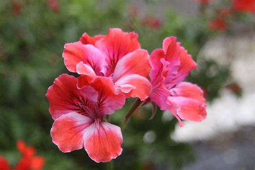 Pelargonium 'Donnatella'