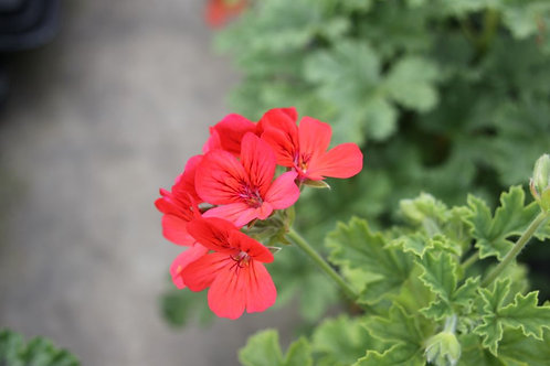 Pelargonium Carrot